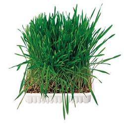 Faça crescer as suas próprias sementes de cereais; Mistura especial de aveia, trigo e cevada; Dá aos pequenos animais verduras i